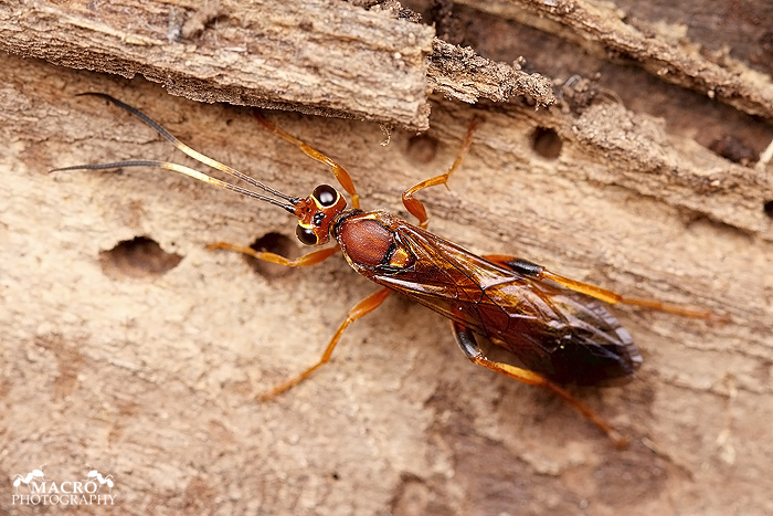Lumek Lymantrichneumon disparis