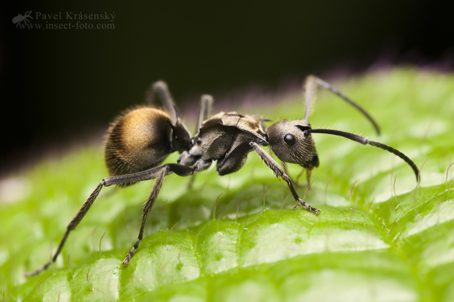Polyrhachis sp.